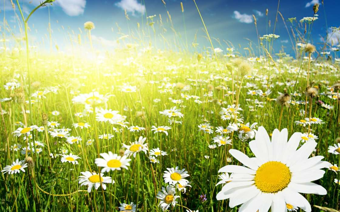 Flowers,Fields,Plants,Camomile
