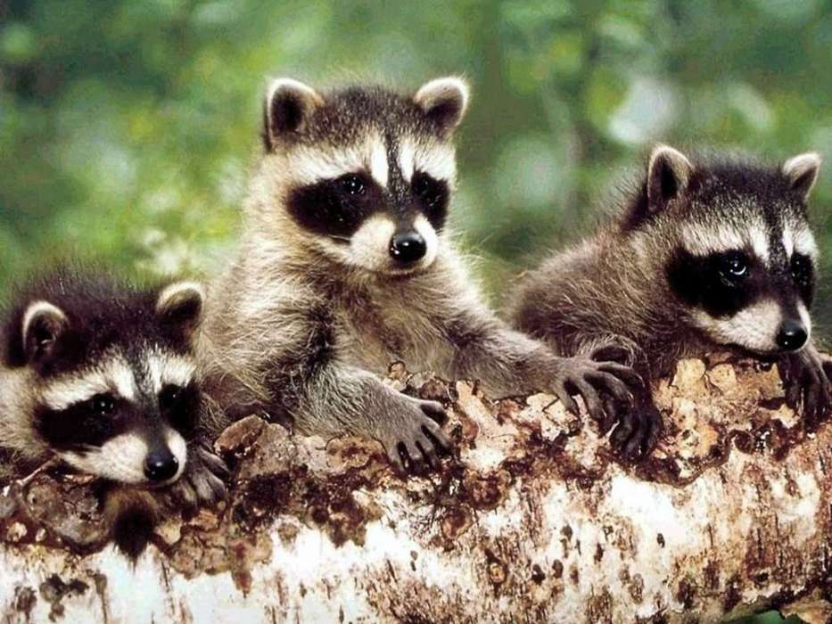 Animals, Raccoons