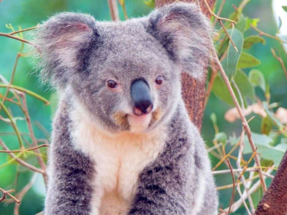 Animals, Koalas
