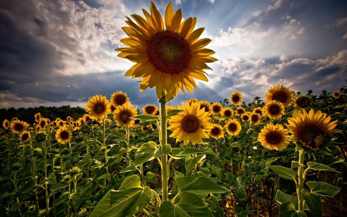 Plants, Sunflowers, Sky