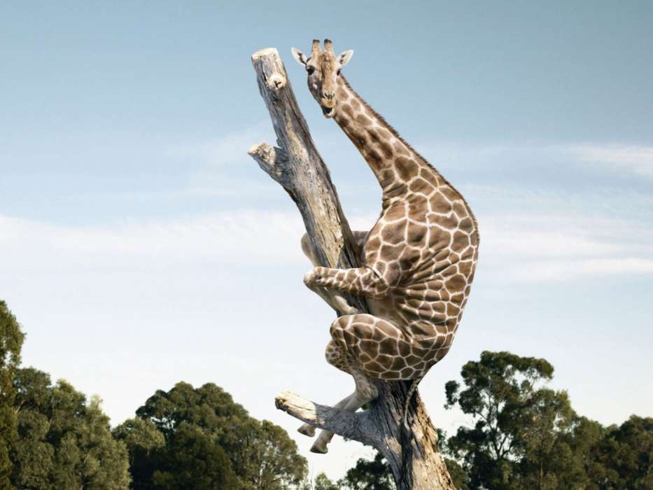 Funny,Giraffes,Animals