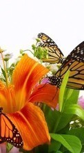 Butterflies,Insects