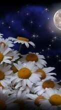 Flowers,Moon,Plants,Camomile