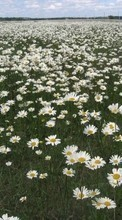 Flowers,Landscape,Camomile