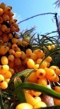 Plants, Food, Berries pour Samsung Galaxy Win Pro