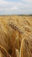 Background, Fields, Wheat, Plants pour Samsung Galaxy Grand Neo