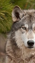 Wolfs,Animals