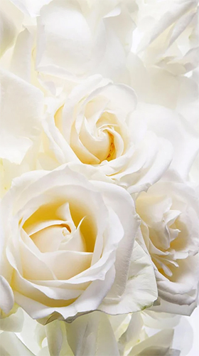 La capture d'écran White rose by HQ Awesome Live Wallpaper pour le portable et la tablette.