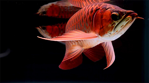 Lovely arowana by kimvan